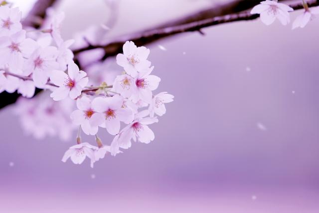 桜の見物中に花粉症のような症状が・・・  もしかしたら桜アレルギーかも?